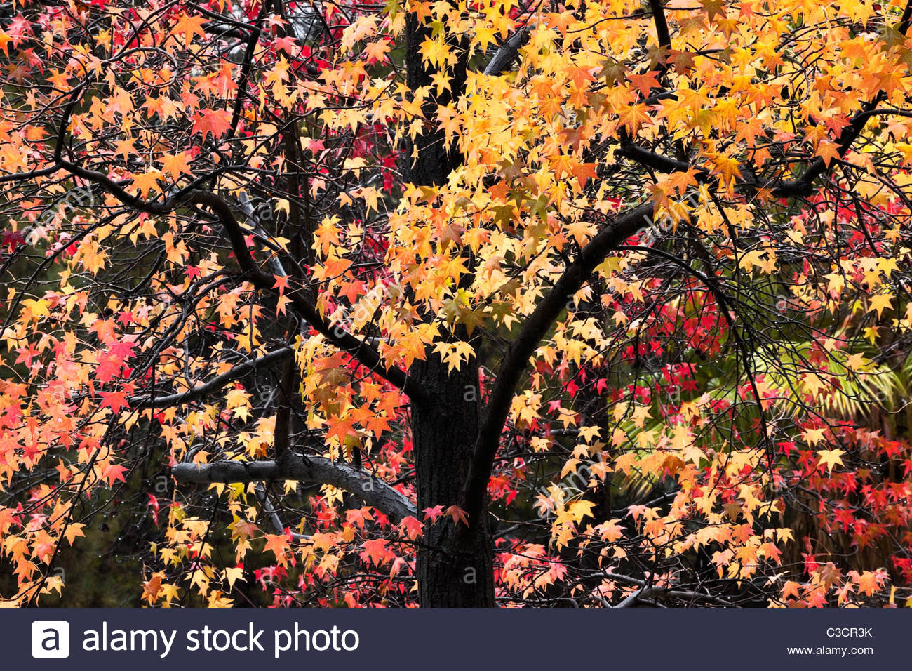 Fall Foliage, Angeles National Forest / Glendora, California - Stock Image