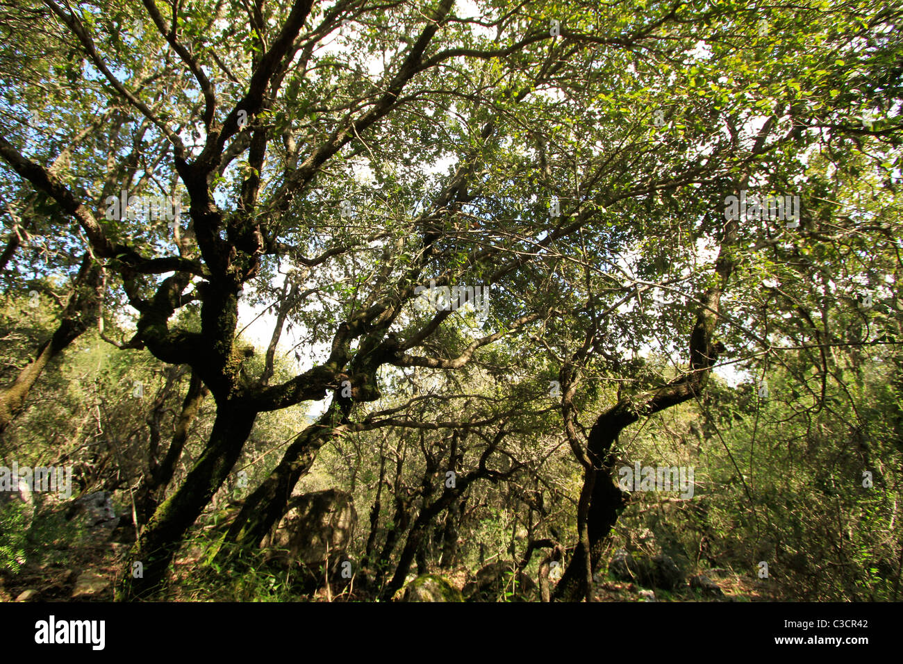 Israel, Upper Galilee, Oak trees at Baram forest Stock Photo