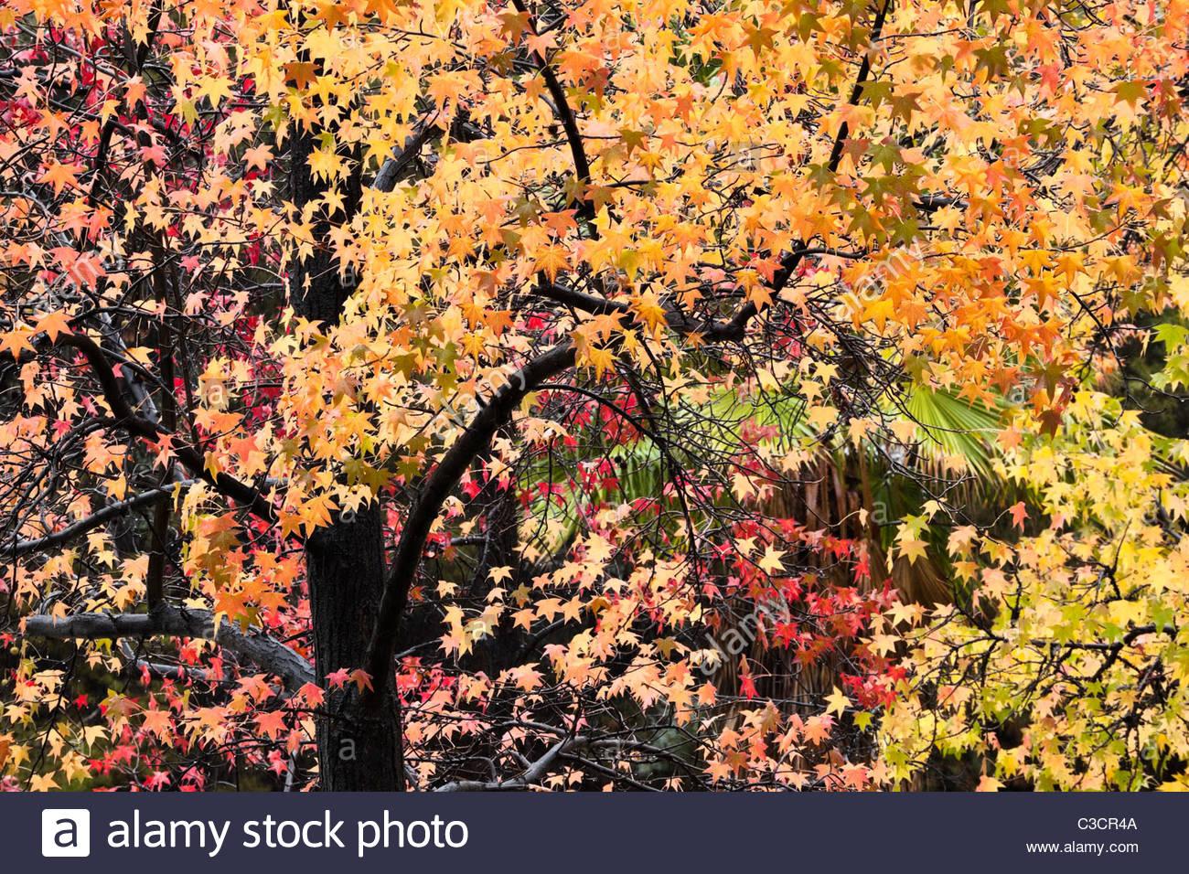 Fall Foliage, Angeles National Forest / Glendora, California - Stock Image