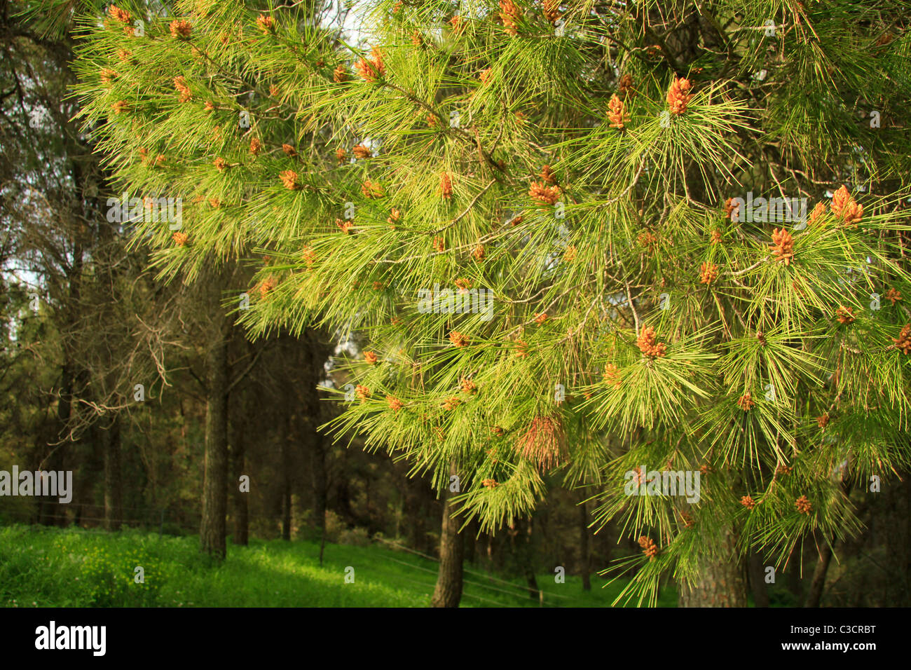 Israel, Upper Galilee, Pine trees in Biria forest Stock Photo