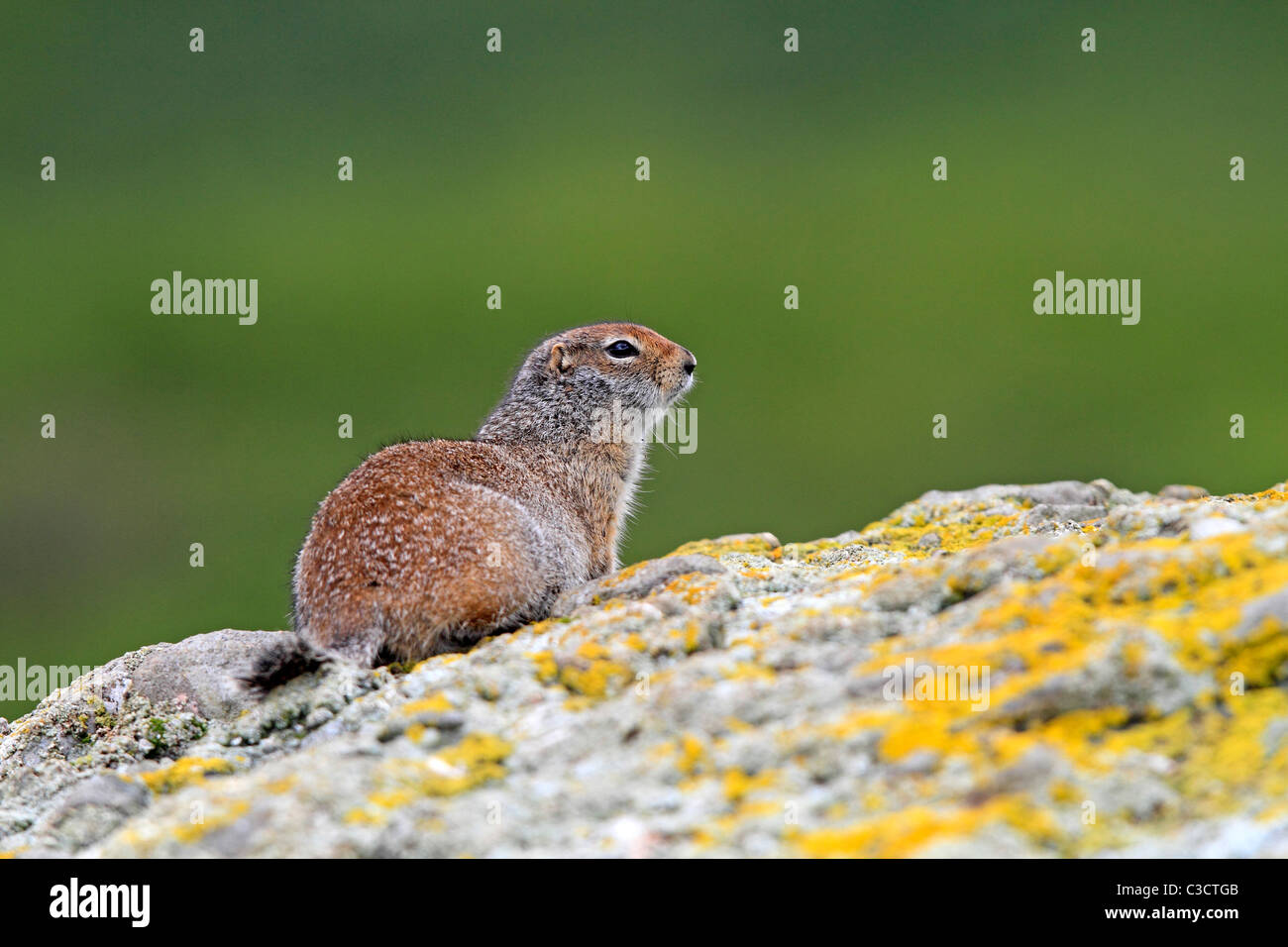 Arctic Ground Squirrel (Spermophilus parryii). Adult on a rock. McNeil River Bear Viewing and Wildlife Sanctuary, - Stock Image