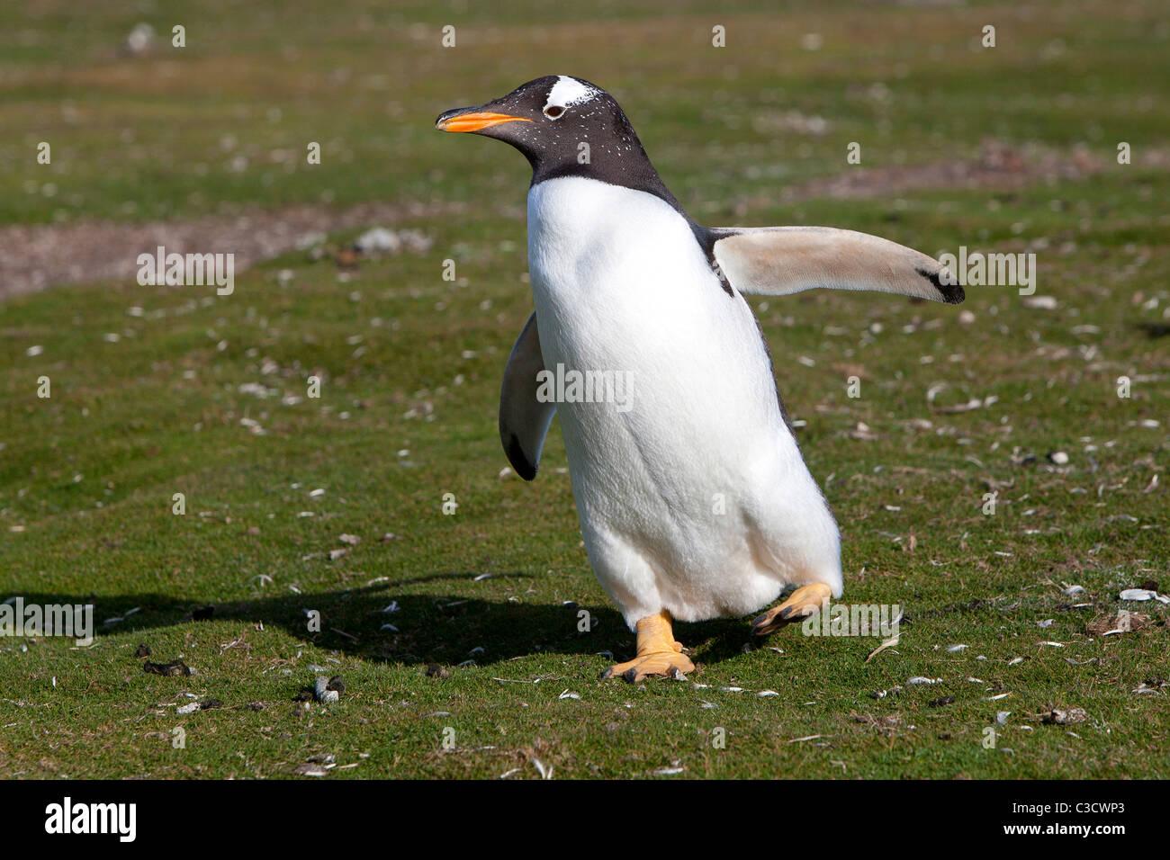 Gentoo Penguin (Pygoscelis papua), running. Sea Lion Island, Falkland Islands. - Stock Image