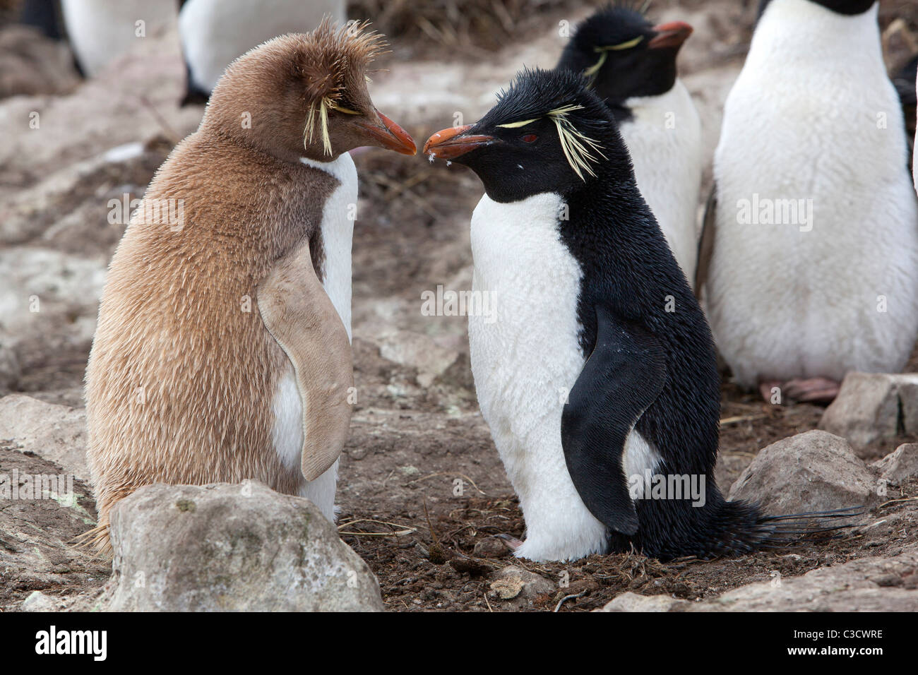 Leucistic Rockhopper Penguin (Eudyptes chrysocome chrysocome) standing next to an individual in normal colors. - Stock Image
