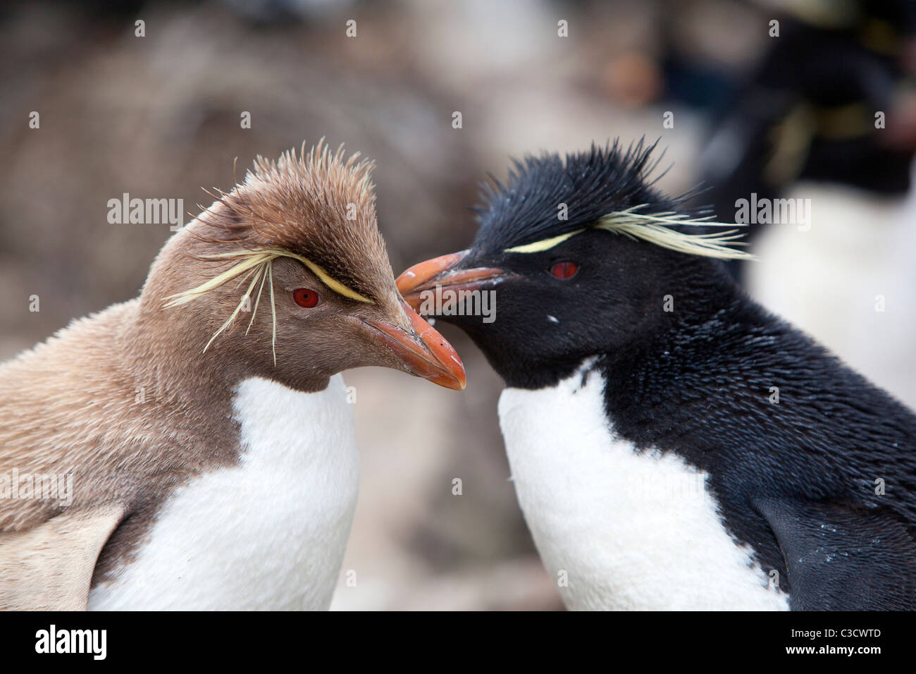 Leucistic Rockhopper Penguin (Eudyptes chrysocome chrysocome) standing next to an individual in normal colors - Stock Image