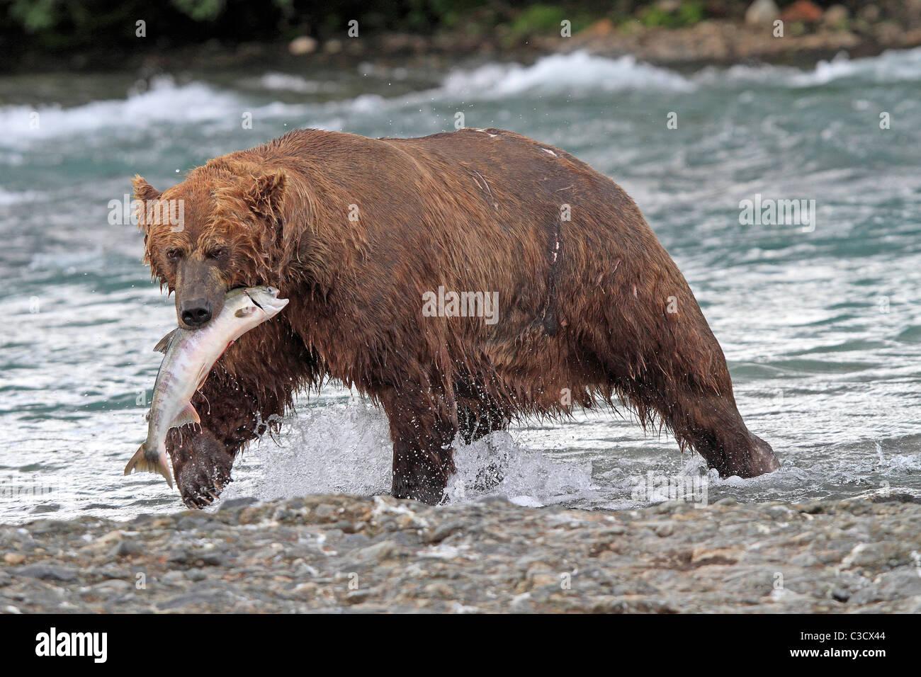 Alaskan Brown Bear (Ursus arctos middendorffi, Ursus middendorffi) with caught Chum Salmon in Mc Neil River. - Stock Image