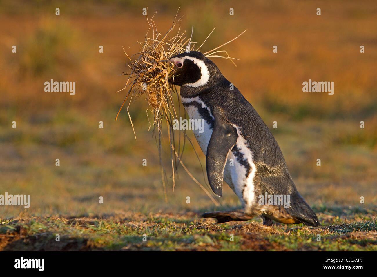 Magellanic Penguin (Spheniscus magellanicus) carrying nesting material. Sea Lion Island, Falkland Islands. - Stock Image