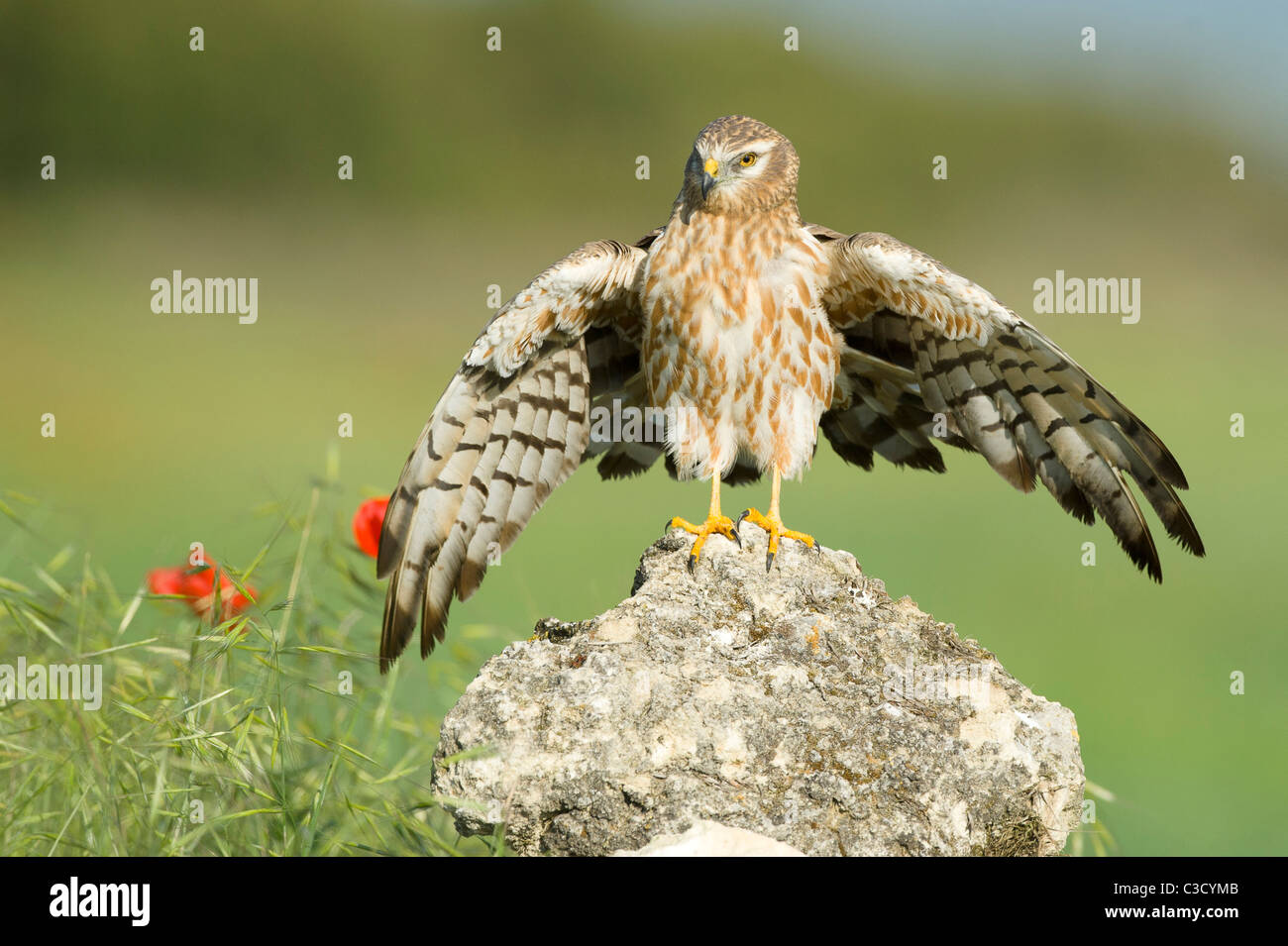 Montagus Harrier (Circus pygargus), adult female standing on a rock with wings open. - Stock Image