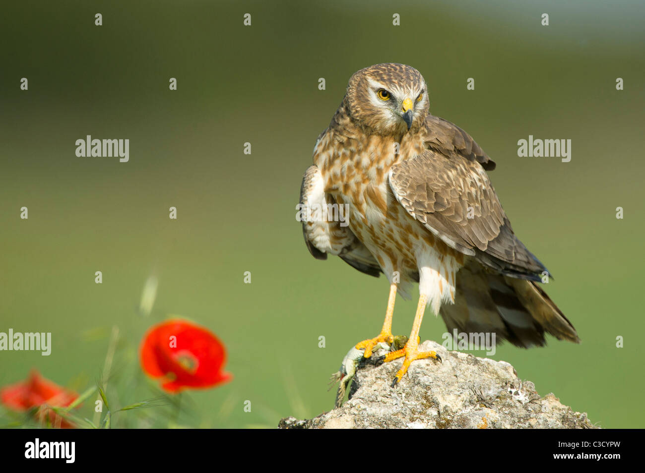 Montagus Harrier (Circus pygargus), adult female standing on a rock. - Stock Image