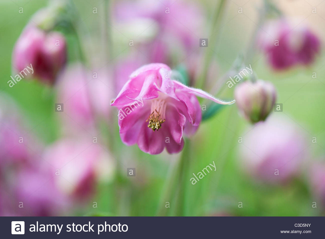 Pink Flowers Of Columbine Stock Photos Pink Flowers Of Columbine
