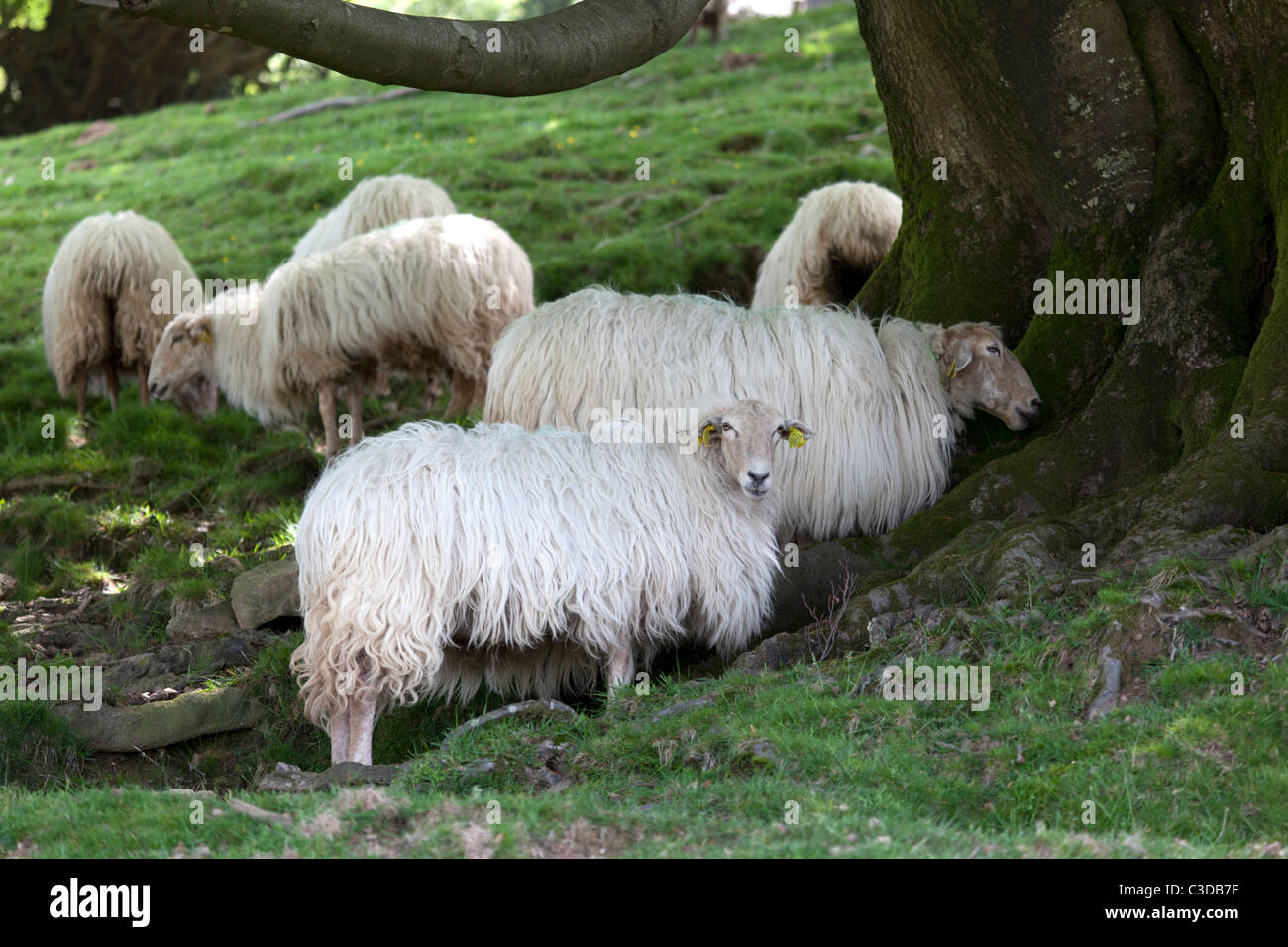 Ewes protecting themselves from the heat under the shade of a beech tree (France). Brebis se protégeant de - Stock Image