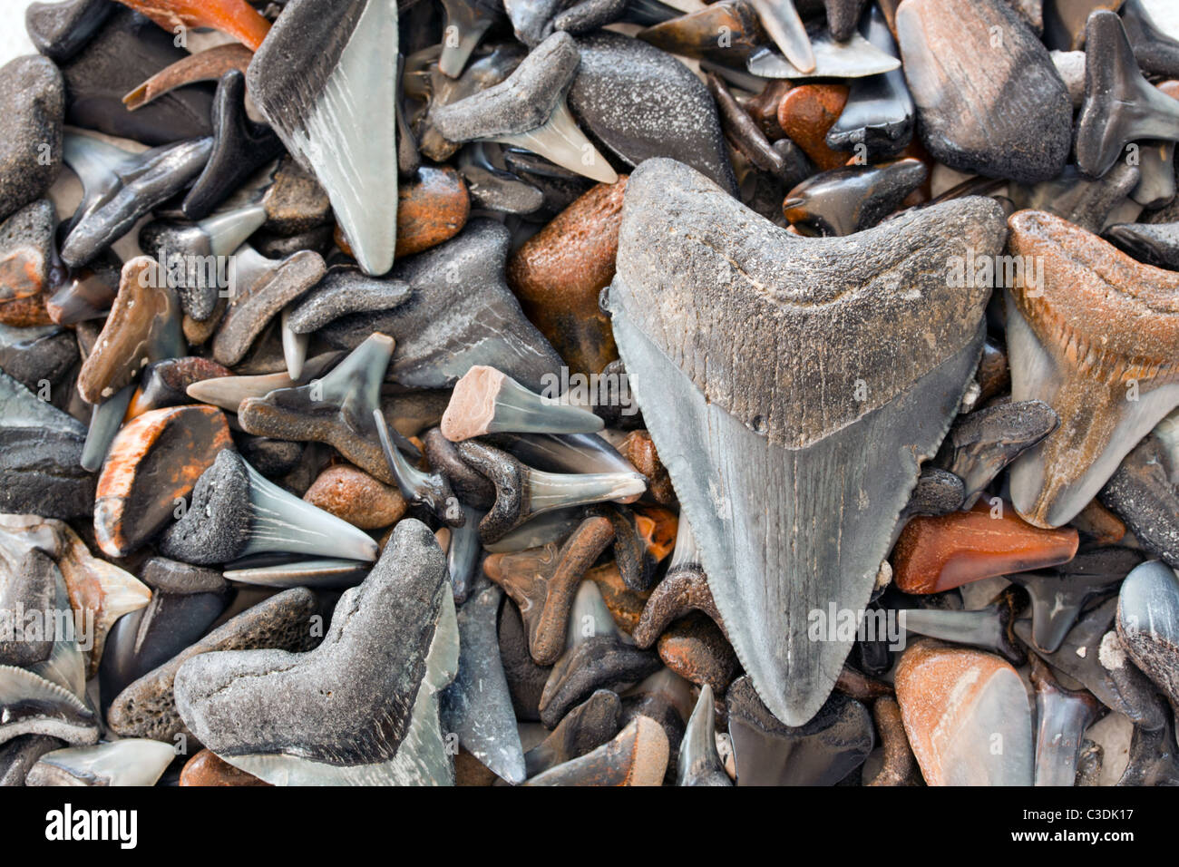 Megalodon shark teeth fossil with other shark teeth fossils found in Gulf of Mexico.  These fossils are over 10,000 - Stock Image