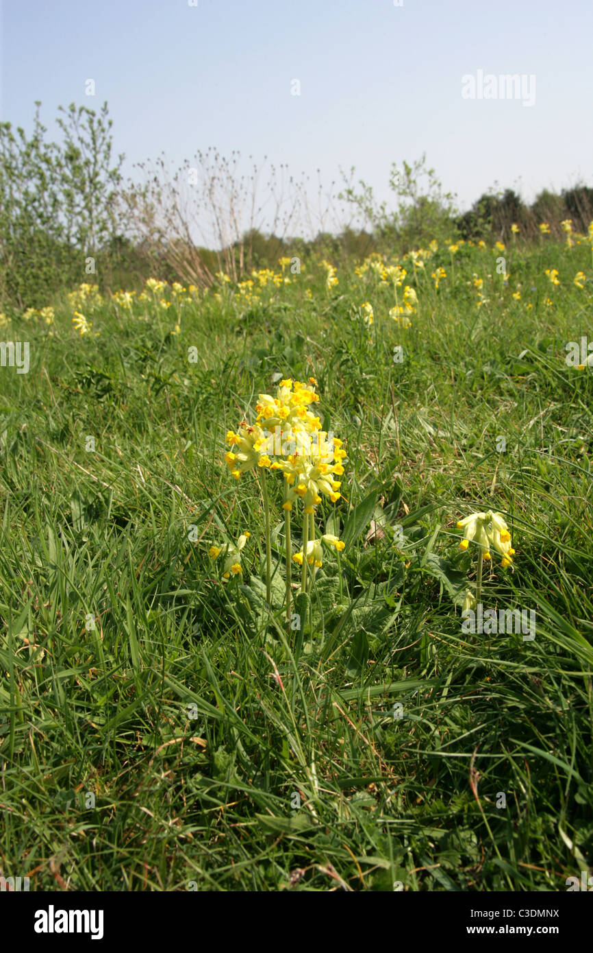 Cowslip, Primula veris, Primulaceae. A Common British Wild Flower. Stock Photo