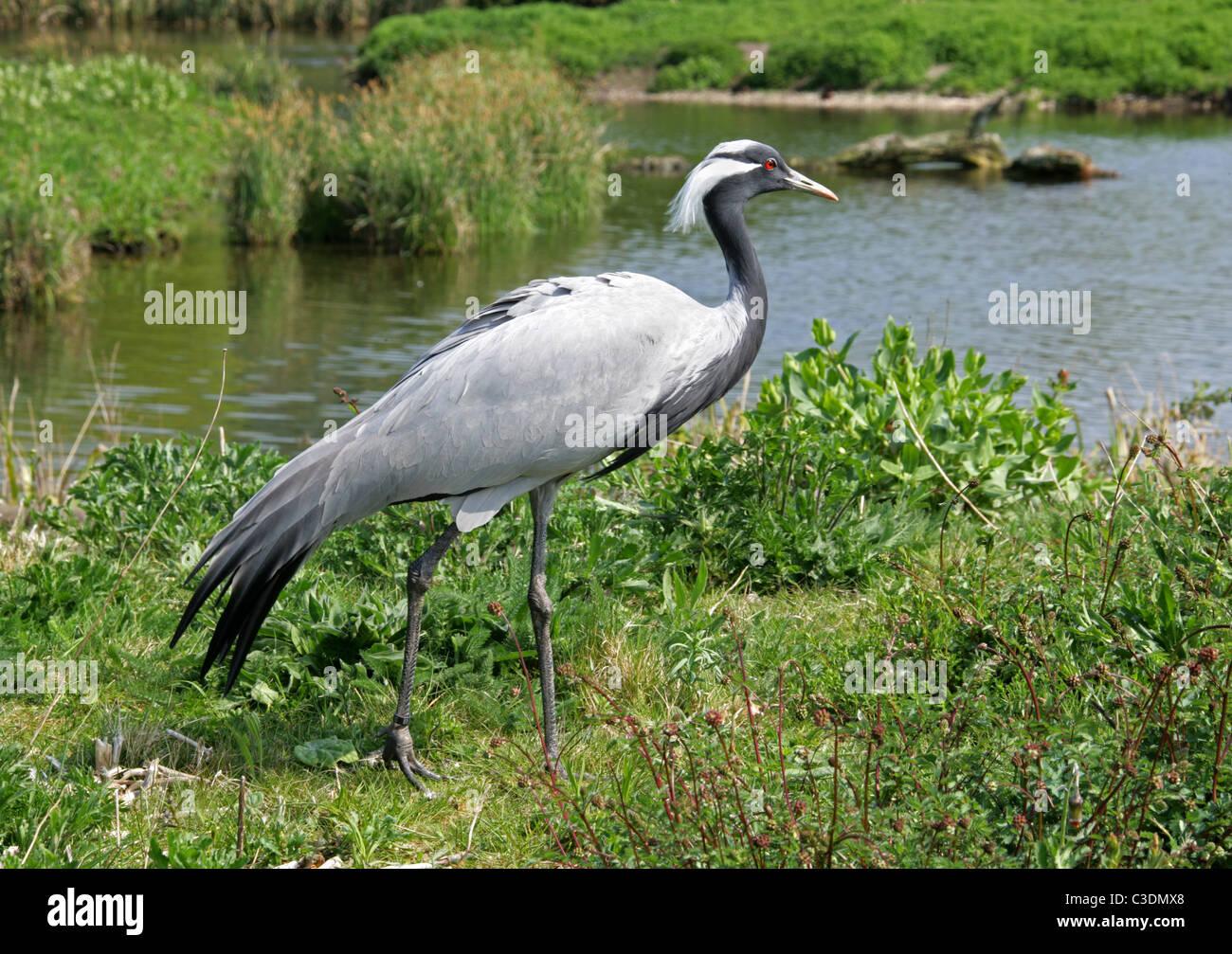 Demoiselle Crane or Lovely Lady Crane, Anthropoides virgo, Gruidae, Gruiformes. Stock Photo