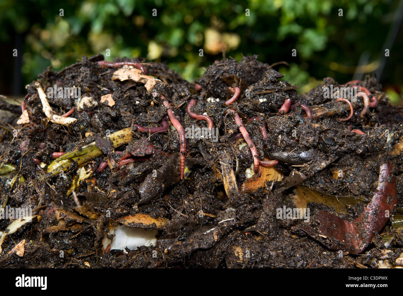 Fresh dug compost full of worms - Stock Image