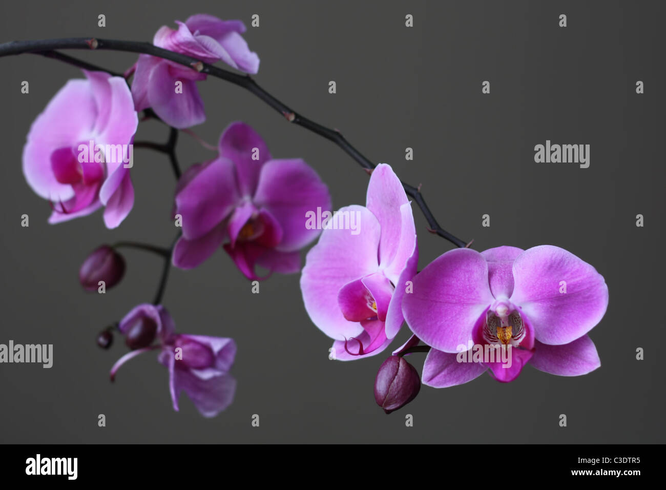 Elegant picture of a purple orchid in blossom perfect for a tranquil background or zen like concept. - Stock Image