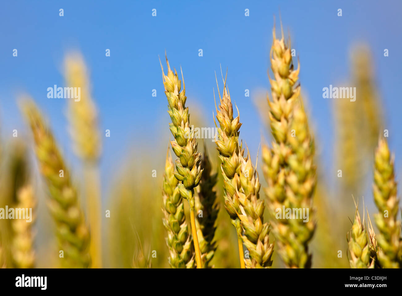 Close up of wheat on the Canadian Prairie, St. Leon, Manitoba, Canada - Stock Image