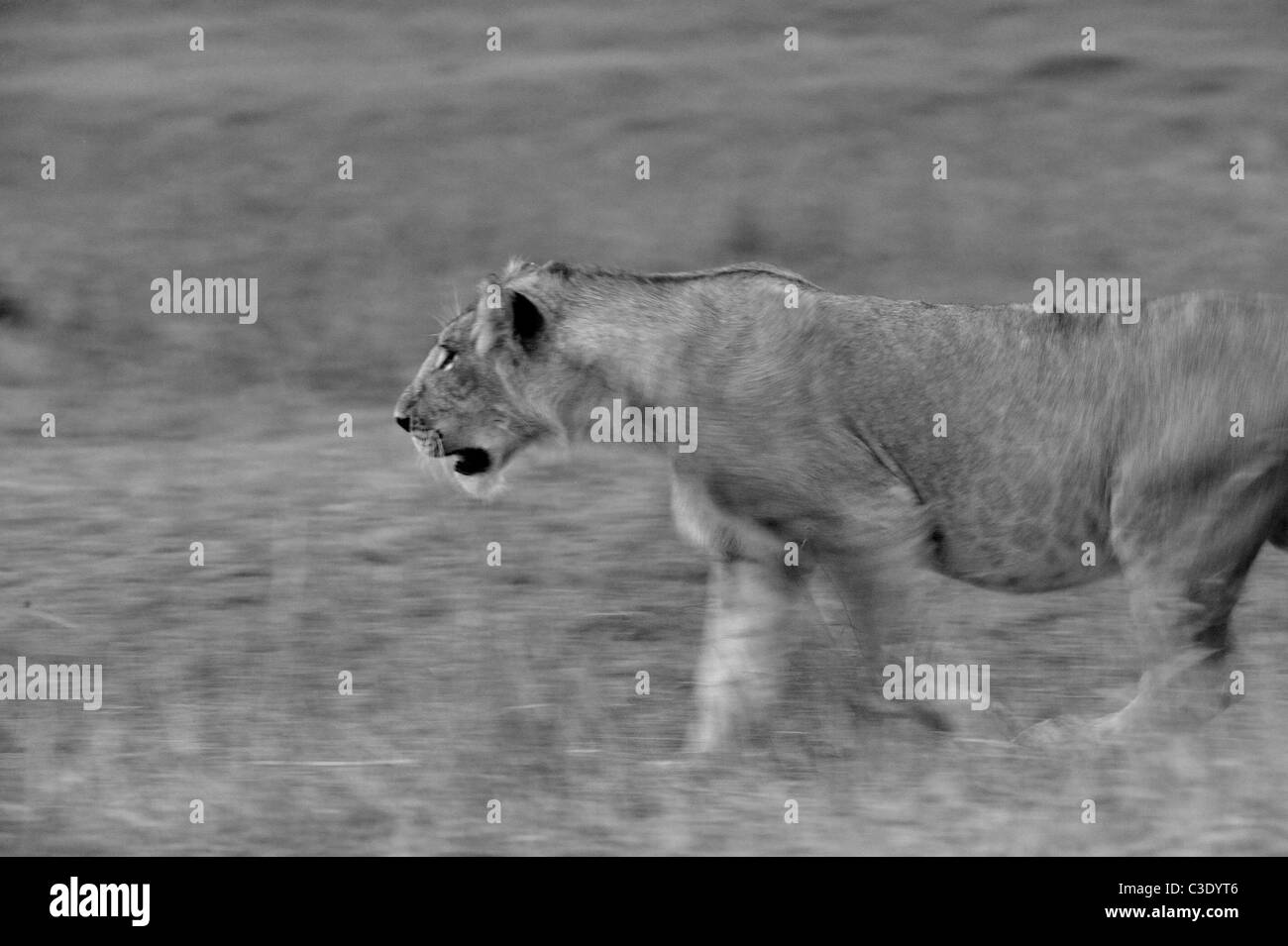 A charging lioness in the forests of Masai Mara, Kenya, Africa - Stock Image