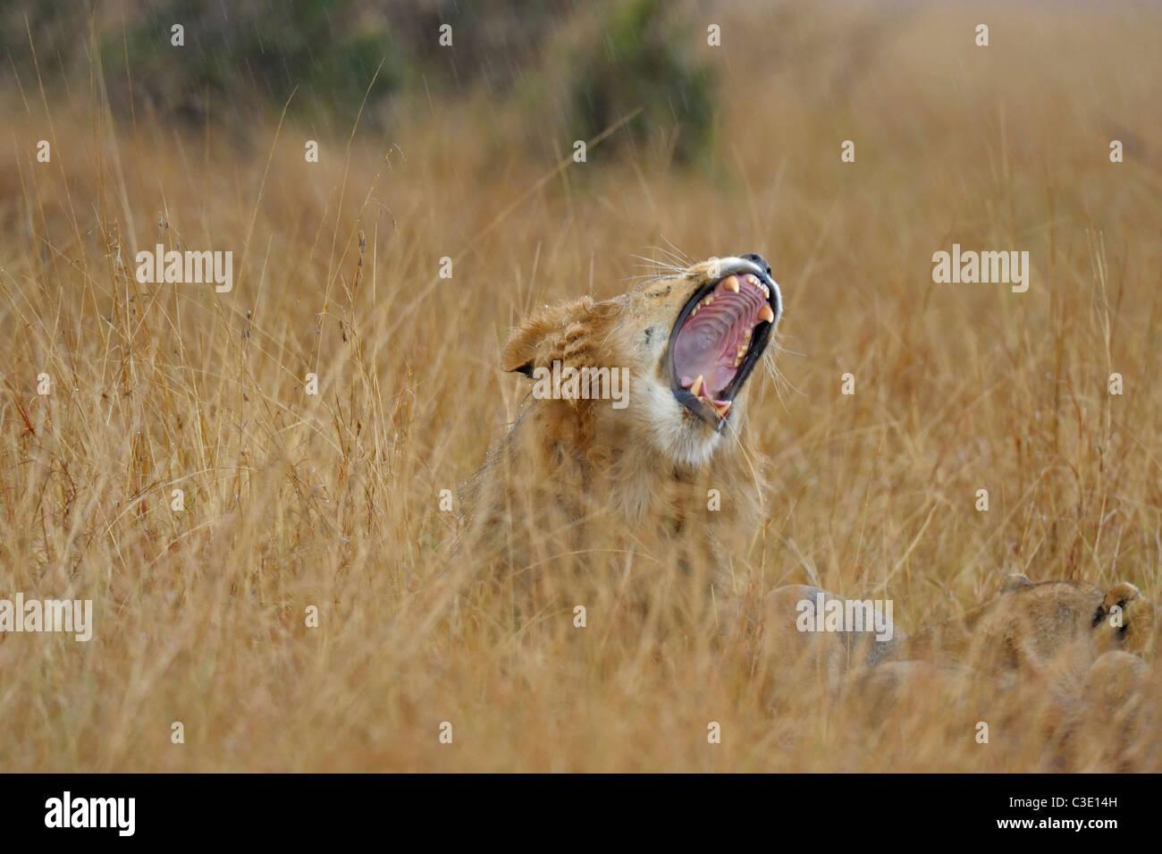 Male lion yawning in the grasses of Masai Mara, Kenya, Africa - Stock Image