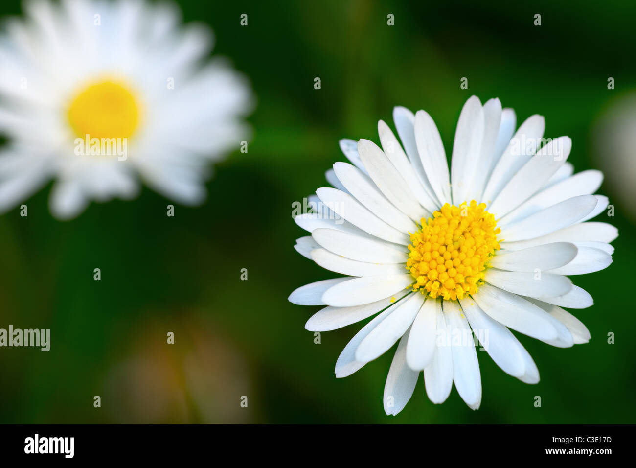 Top view of a common daisy flower head - Stock Image
