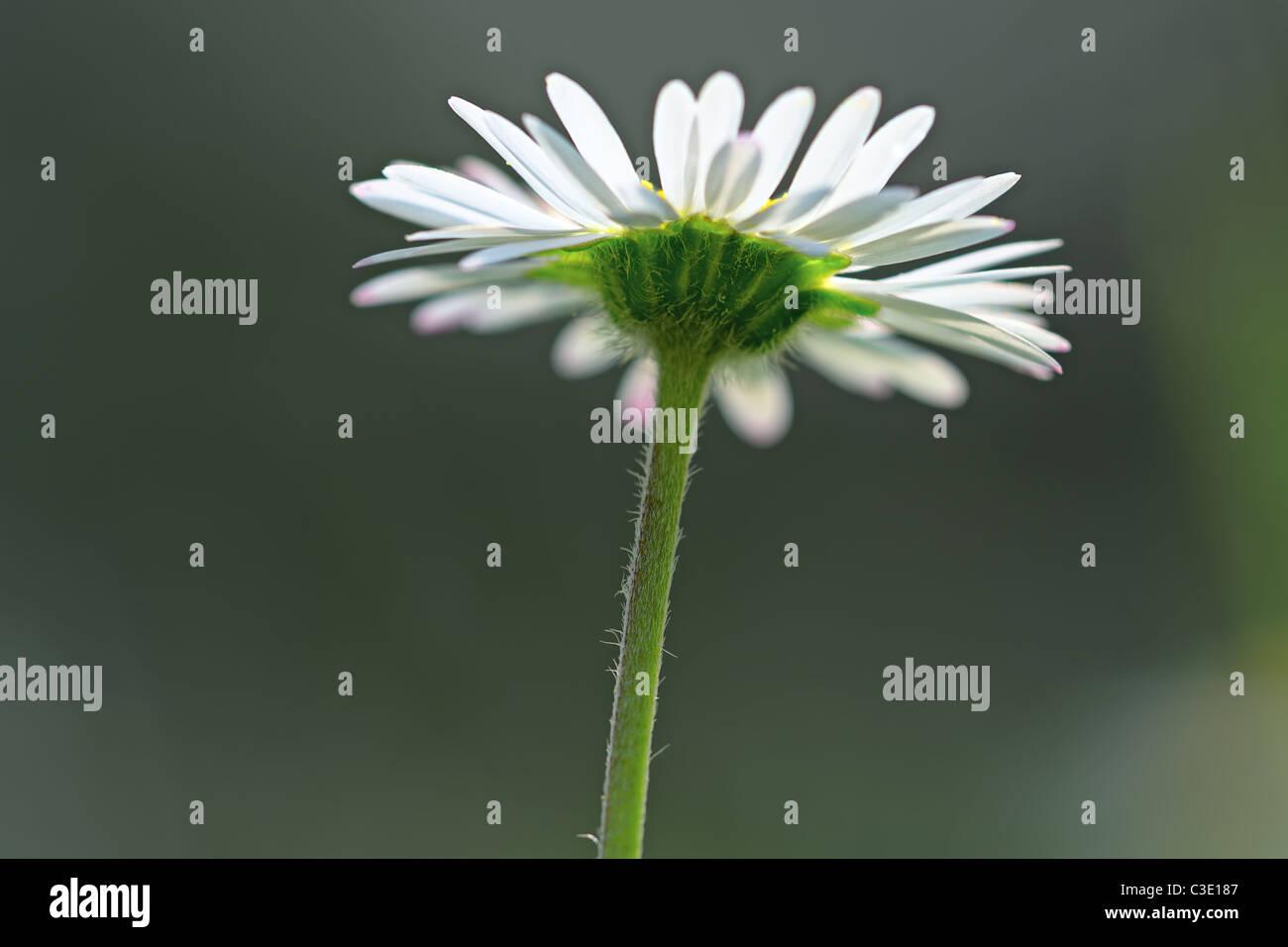 Single common daisy flowerhead from below - Stock Image