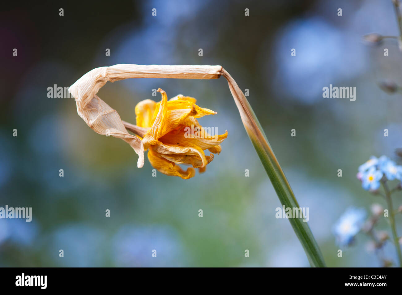 Dead tete a tete daffodil flower in the garden - Stock Image