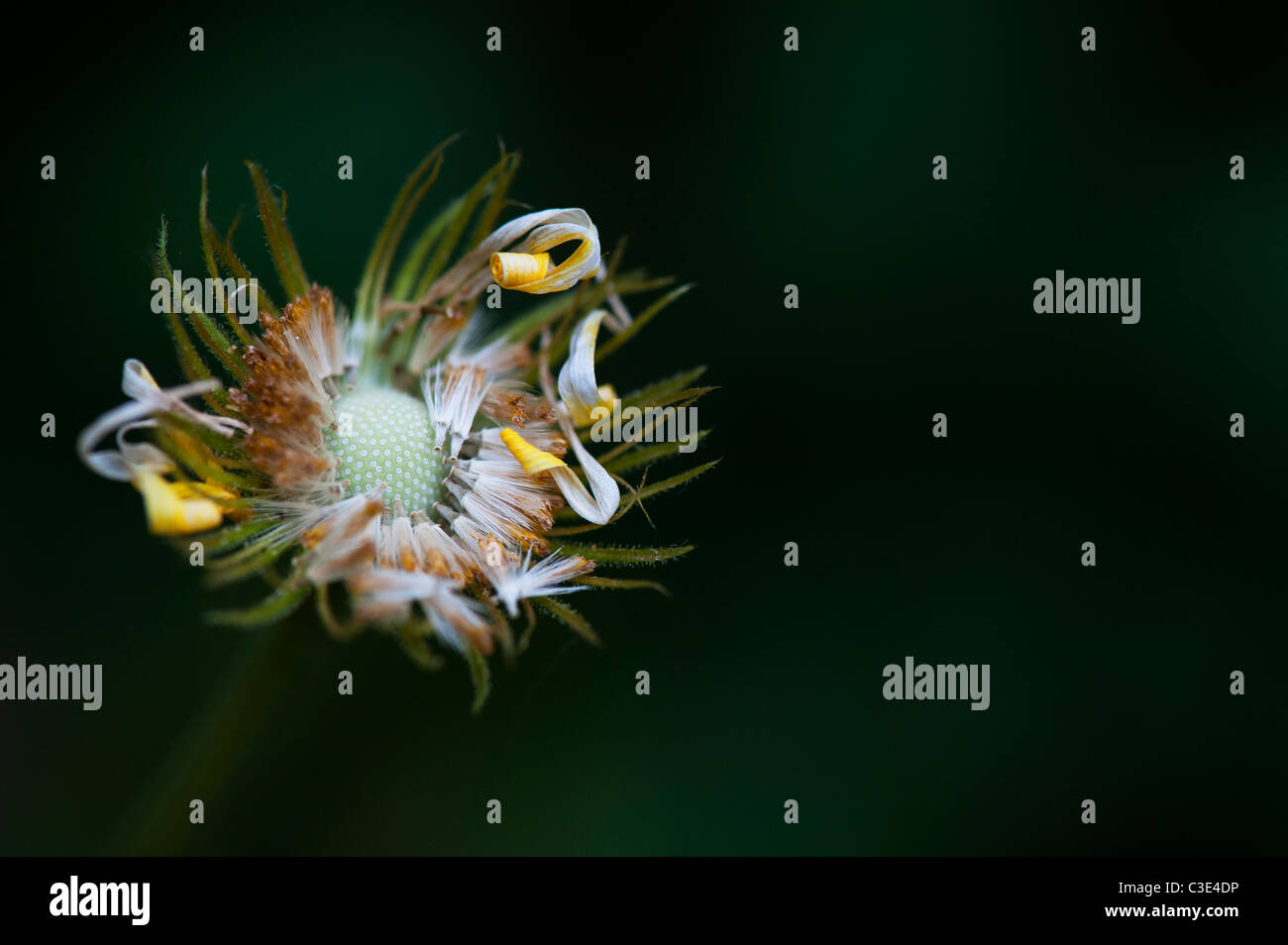 Doronicum Caucasicum Finesse flower seeds. Leopards Bane flower seed head - Stock Image