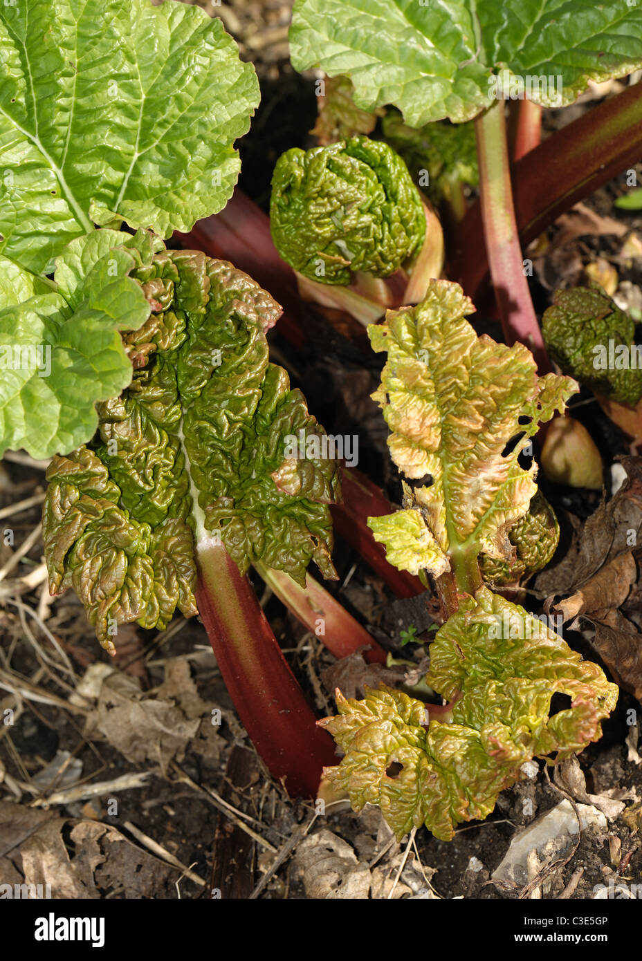 First leaves of a rhubarb plant in early spring - Stock Image
