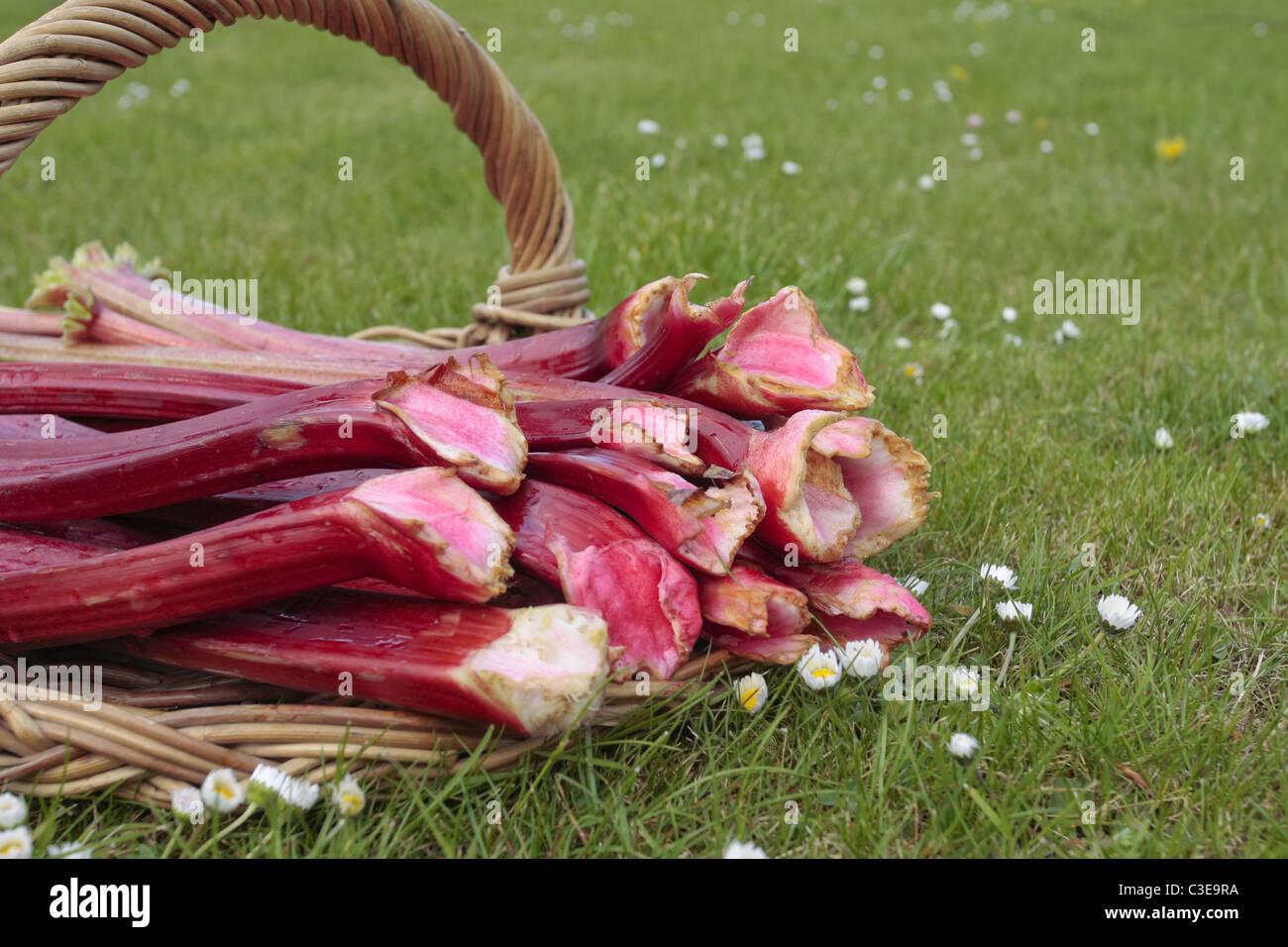 Freshly picked rhubarb on basket - Stock Image