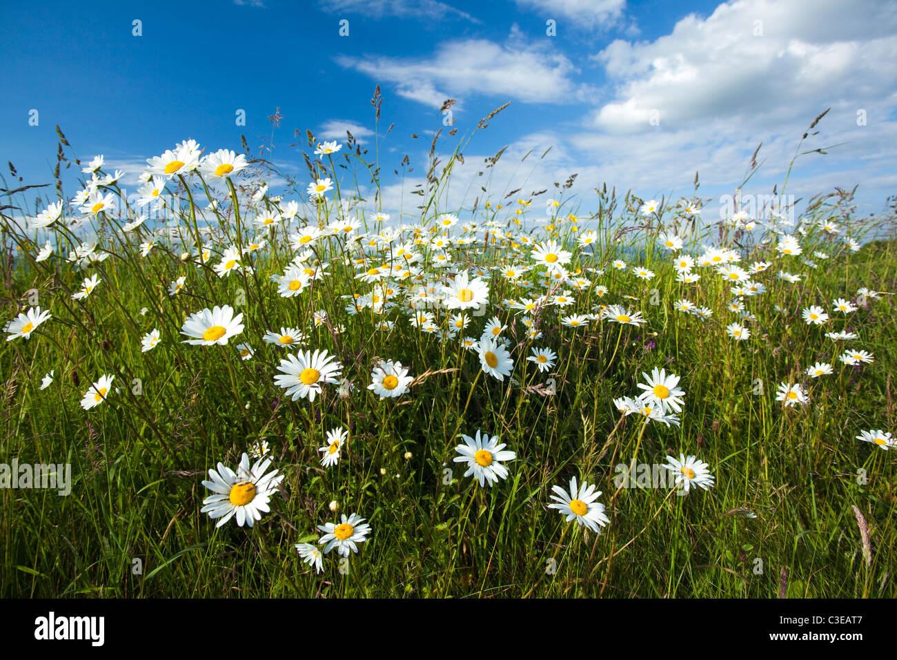 Bank of ox-eye daisies (leucanthemum vulgare), County Sligo, Ireland. Stock Photo