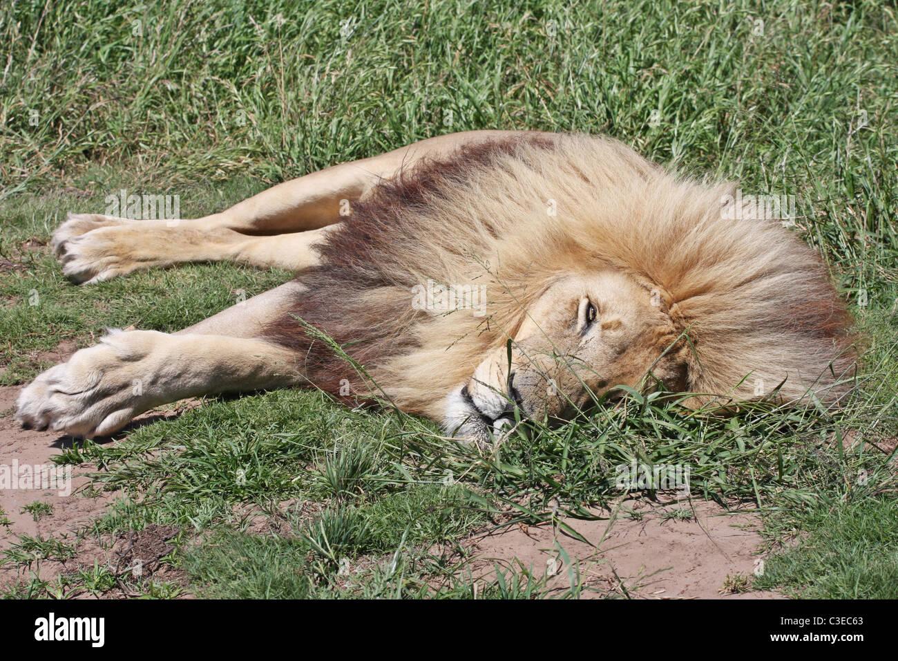 Sleeping lion, lion park, Port Elizabeth, South Africa, green plants - Stock Image