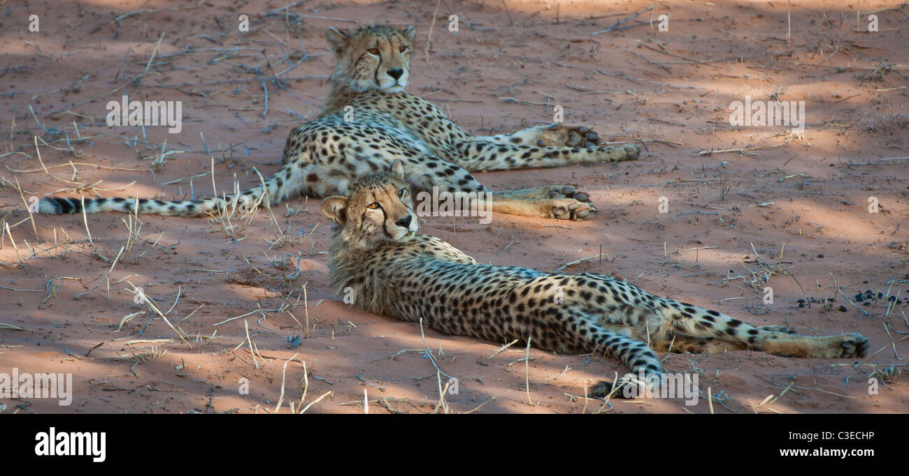 two young cheetah relaxing in the shade - Stock Image