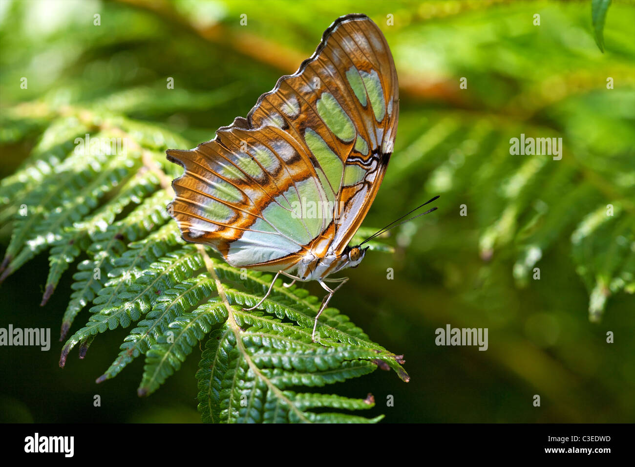 Malachite Butterfly (Siproeta stelenes) on a fern. - Stock Image