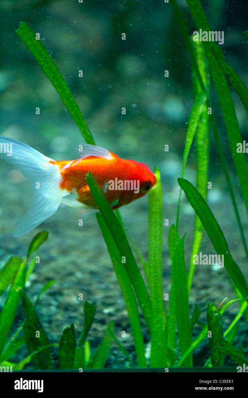 Goldfish Jump Aquarium Water Stock Photos & Goldfish Jump Aquarium ...