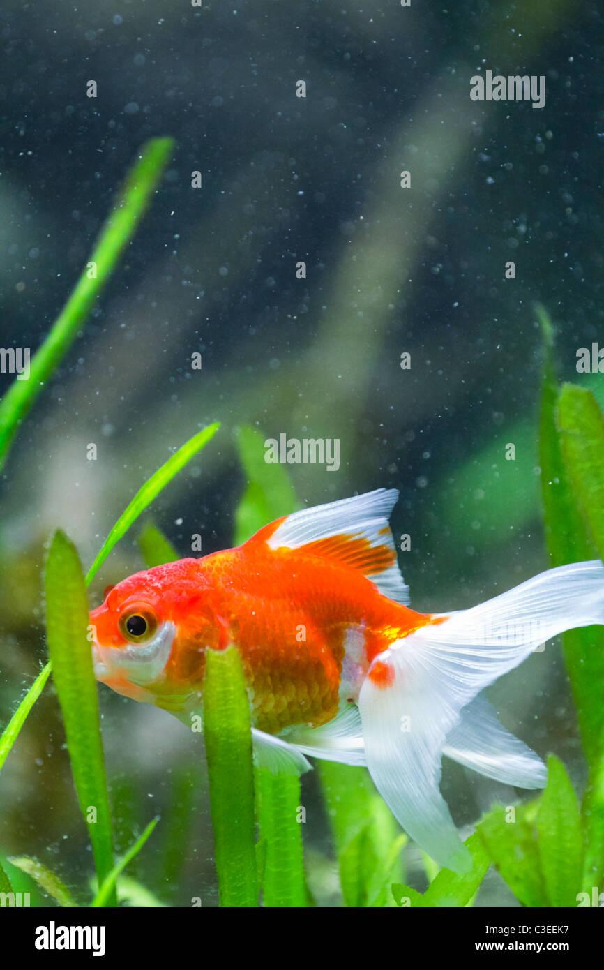 Goldfish Bowl Jump Stock Photos & Goldfish Bowl Jump Stock Images ...