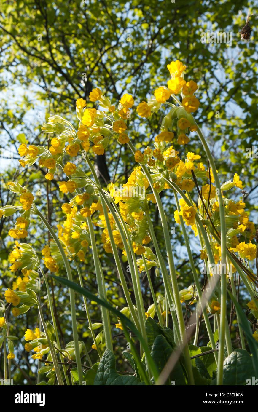 Cowslip, Primula veris Stock Photo