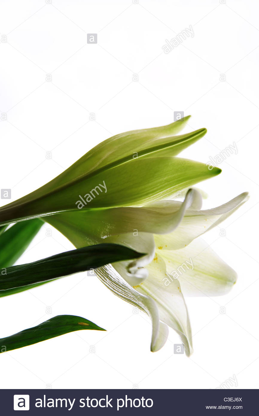 Lily - Stock Image