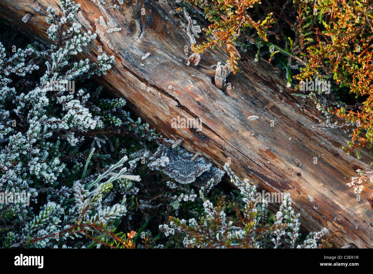 Sunlight begins to warm the frost-covered forest floor near Keswick in the Lake District in England - Stock Image