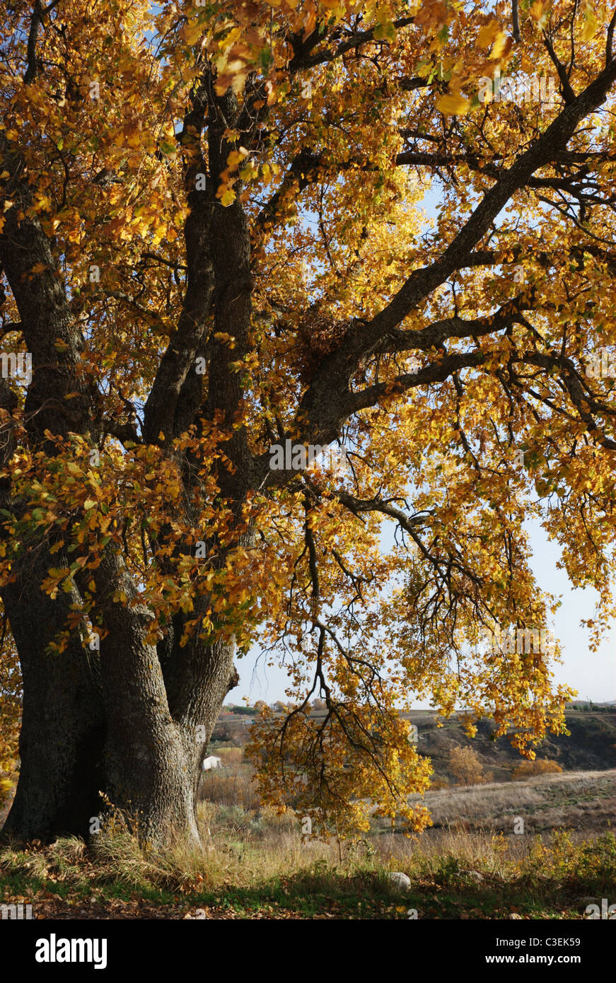 Golden branches of a secular oak tree in the autumn wind - Stock Image