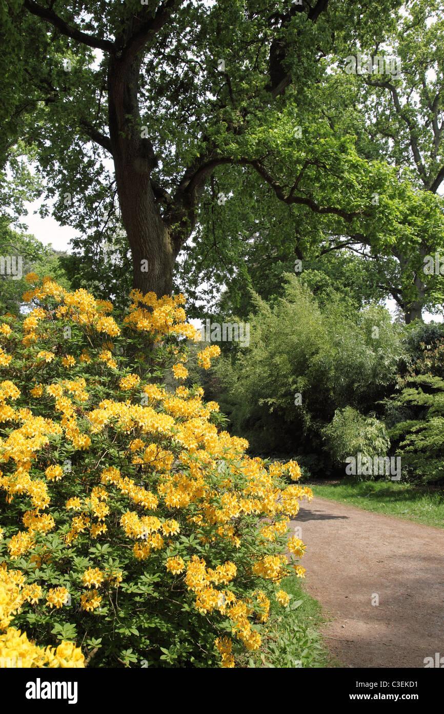 Yellow Rhododendron flowering, Spring at  Westonbirt Arboretum, Gloucestershire - Stock Image