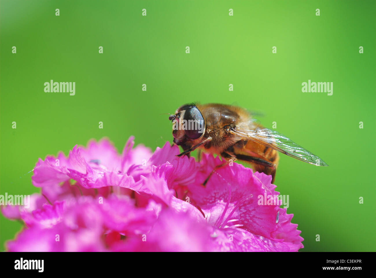 Eristalis tenax on sweet Williams (dianthus barbatus) - Stock Image