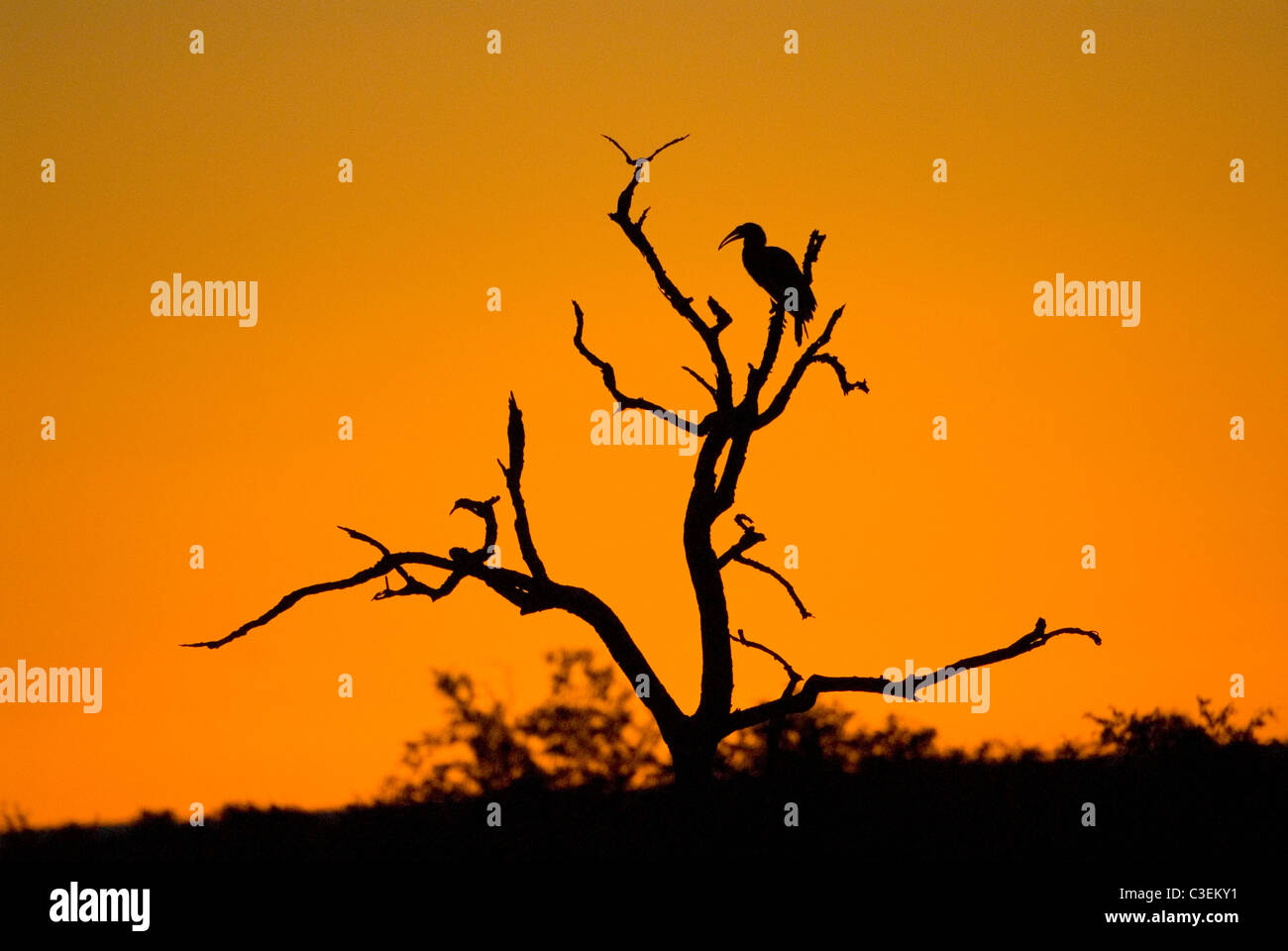 South African landscapes include desert, grassland, Bushveld and mountains. Ground hornbill silhouette in tree. - Stock Image