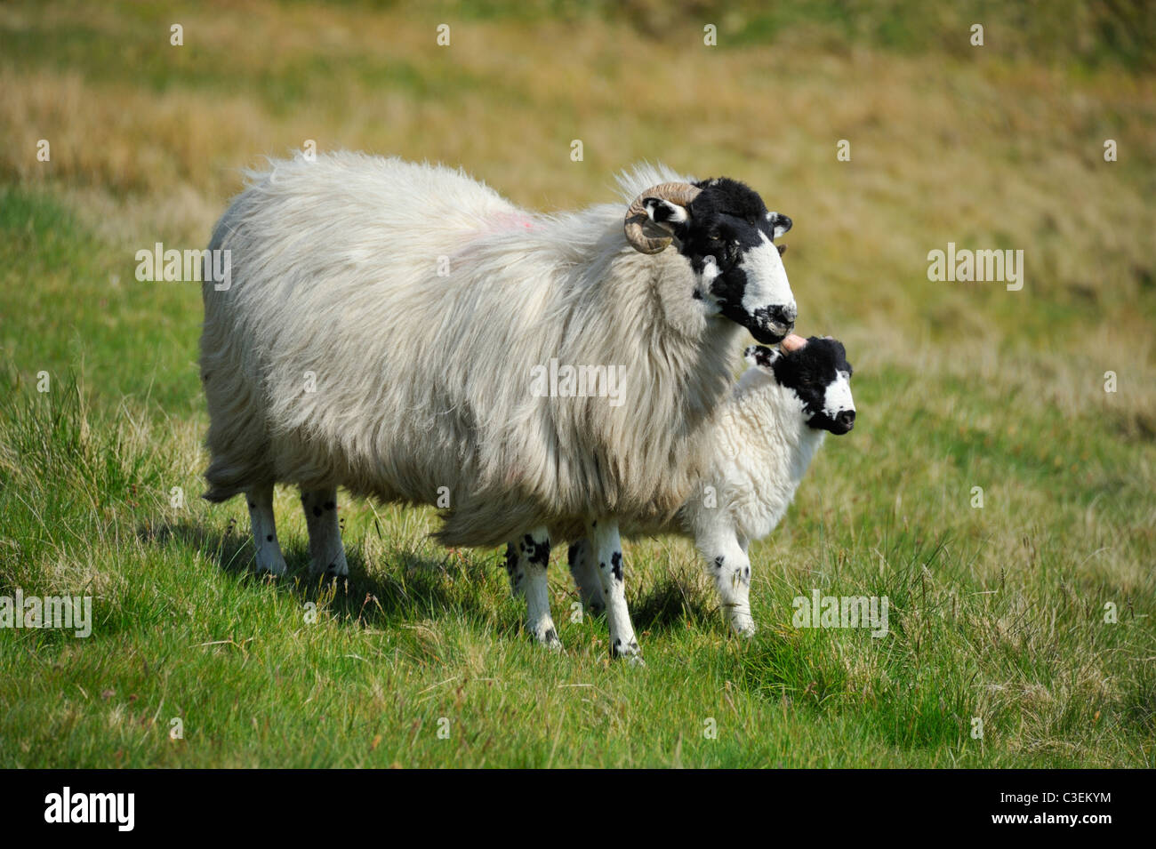 Rough Fell ewe with lamb. Whinash, Borrowdale, Cumbria, England, United Kingdom, Europe. - Stock Image