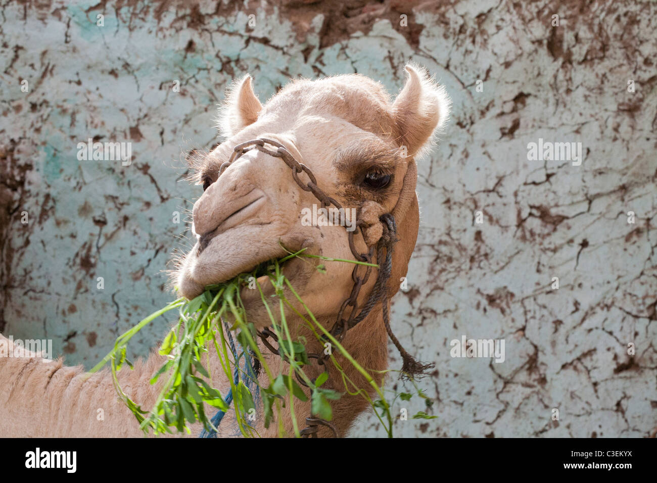A camel called Susie that I met in Luxor, Egypt - Stock Image