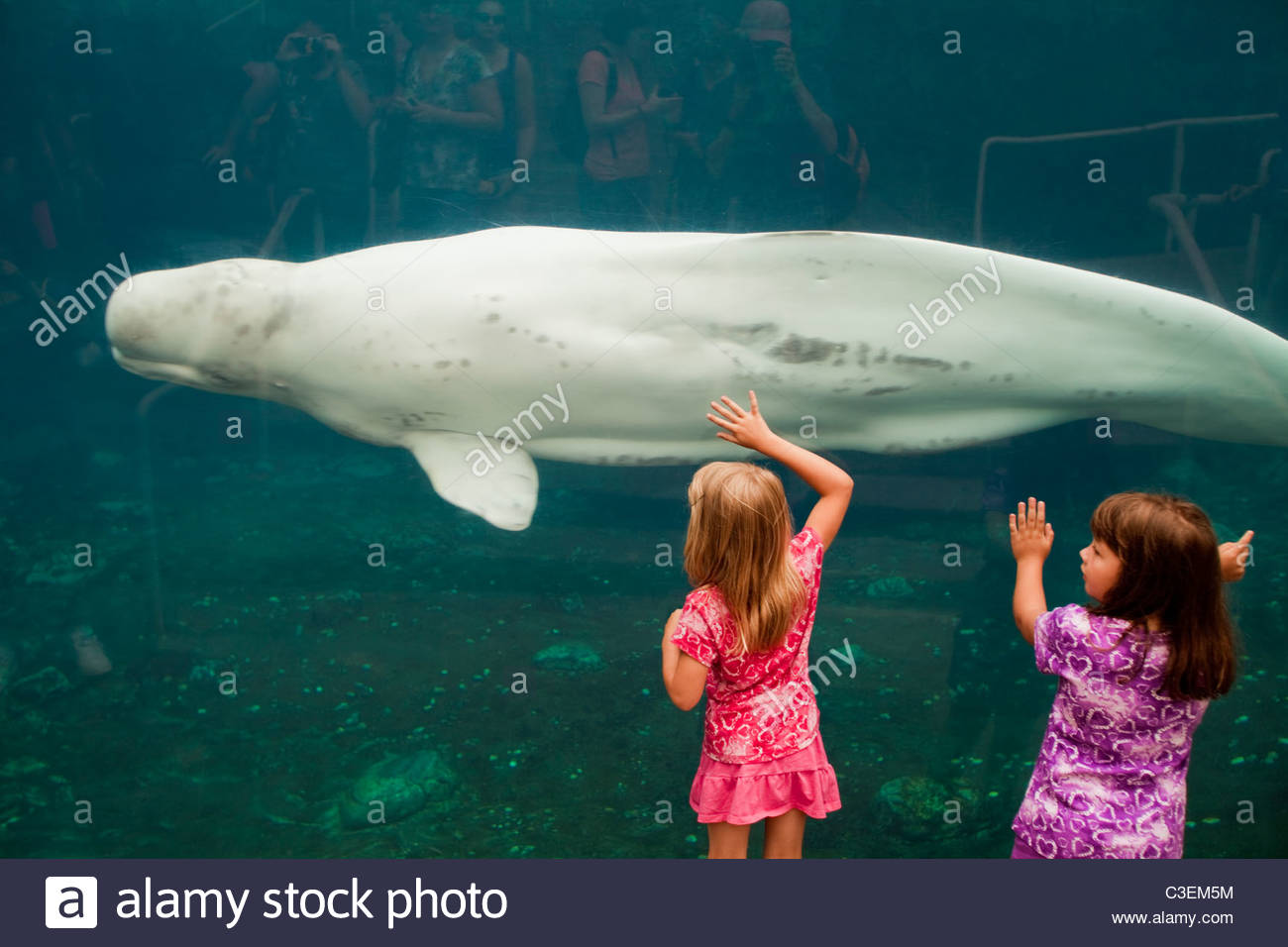 Two young girls enjoy the live Beluga whales at the Mystic Aquarium. Mystic, Connecticut. - Stock Image
