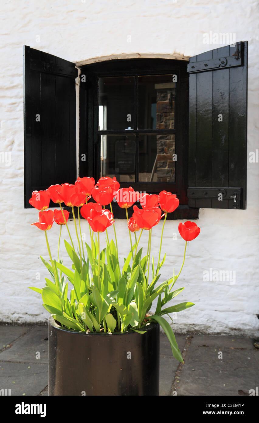 Red tulips outside Aberdulais tinplate works, Neath, South Wales, UK - Stock Image