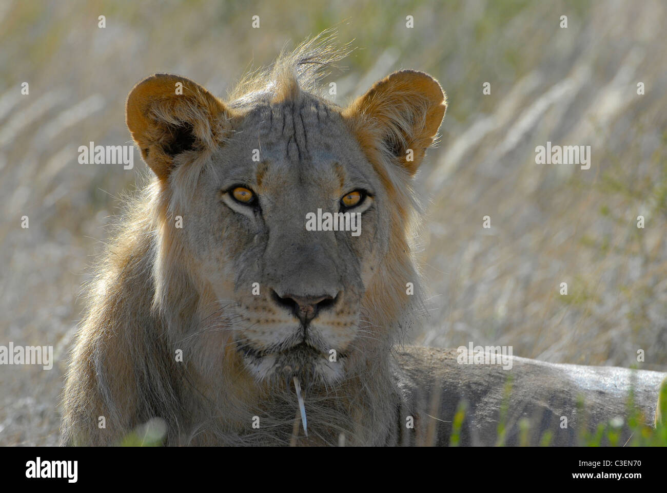 Game viewing in the Kgalagadi Transfrontier park, South Africa is affordable. Young male lion with porcupine quill - Stock Image