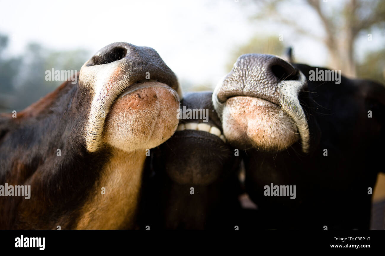 Tight shot of three cow's snouts looking over a fence - Stock Image