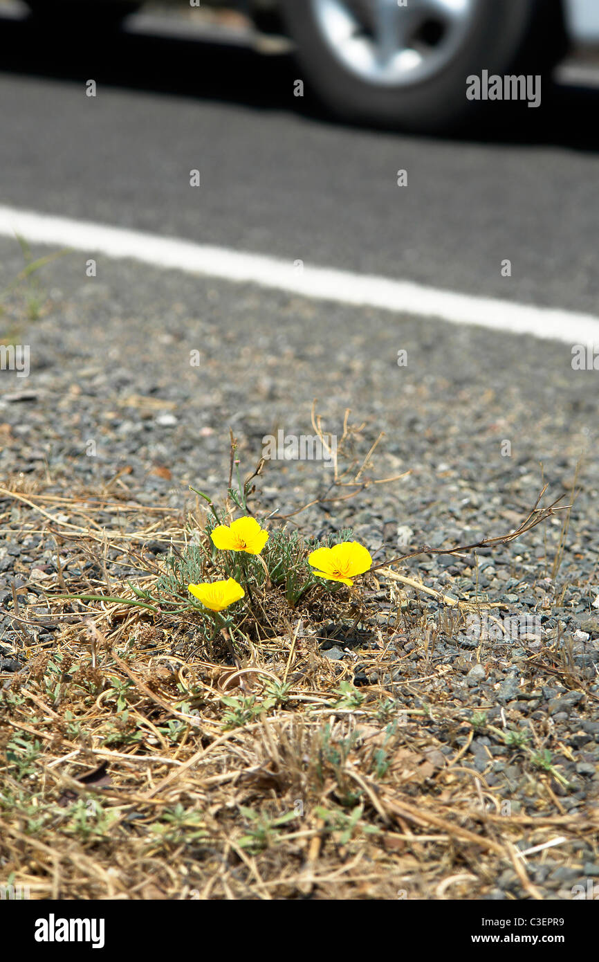 Yellow wild flower to side of road, survival of nature. - Stock Image