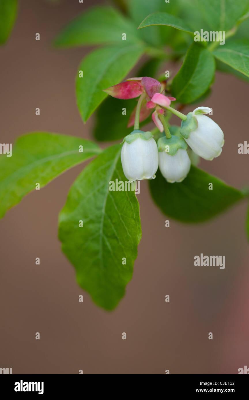 Vaccinium corymbosum. Blueberry flowers in spring. Selective focus. - Stock Image