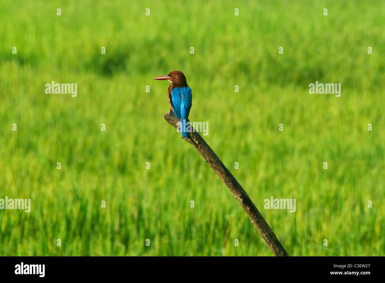 White throated Kingfisher Southern Sri Lanka - Stock Image